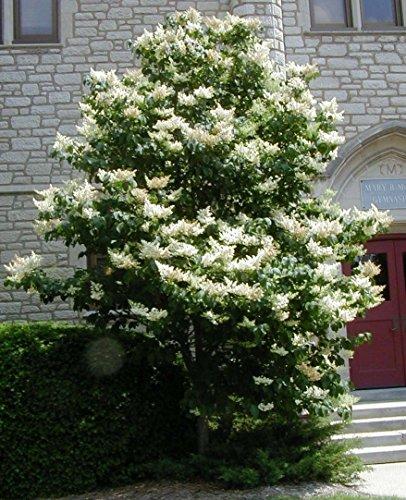 PLAT FIRM GERMINATIONSAMEN: 120 Samen: Japanischer Fliederbaum, Syringa reticulata, Baumsamen (schnell, wohlriechend, winterhart)
