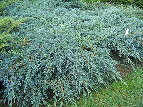 Pianta di Juniperus Chinensis Blue Alps in vaso ø18 cm