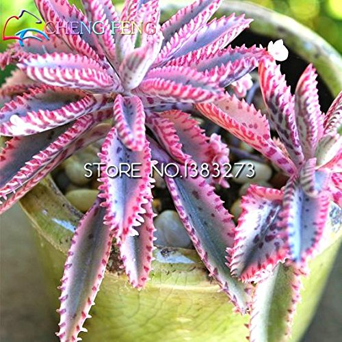 2016 Graines Nouveau Vente 50pcs Kalanchoe Bonsai Fleur Rare SeedsAndPlants Jardin Air Purification intérieur Plantes Pot Novel Succulentes Ship gratuit