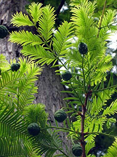 Echte Sumpfzypresse Taxodium distichum Pflanze 55-60cm Sumpfeibe Zyresse