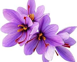 Special Sale: 10 Rare Largest Saffron Crocus Sativus Corms - 10+ cm Giant Corms