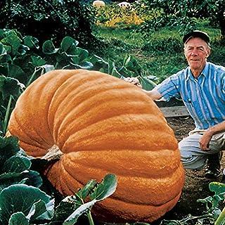 """Soteer Seed House - Semillas de calabaza gigantes"""""""