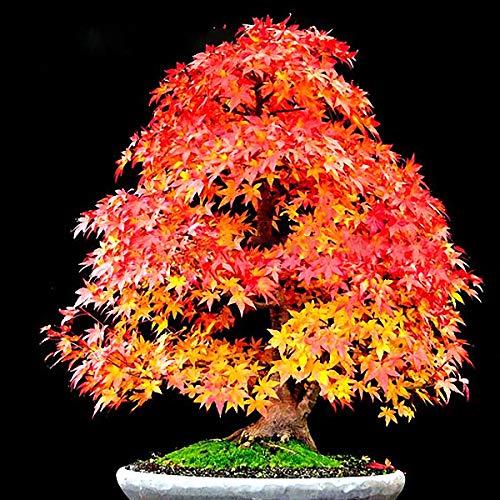 TENGGO Egrow 20Pcs/Bolsa Arce Rojo Semillas Mini Bonito japonés Bonsai de Arce Rojo Semillas DIY Bonsai Fresh Maple Semillas Mini-Bonsai-Tree DIY Planta Sementes Plantas