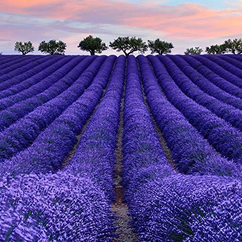 HTHJA Frühling Blumen mehrjährig winterhart,Lavendel-Blumensamen im Frühjahr gesät, Zierblumen, die kontinuierlich blühen 250g,Samen fü Blumen