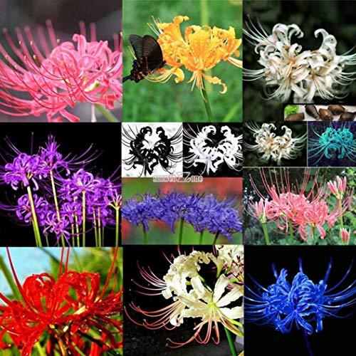 Portal Cool Ringelblumen-Samen Crackerjack Mischfarben 50 Kolibris Schmetterlinge anziehen!