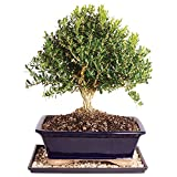 Brussel's Live Harland Boxwood Outdoor Bonsai Tree - 10 Years Old; 10' to 14' Tall with Decorative Container, Humidity Tray & Deco Rock
