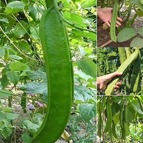 Acecoree Samen Haus kultivierte Unterart Twining Kräuter Messer Bohnen Samen