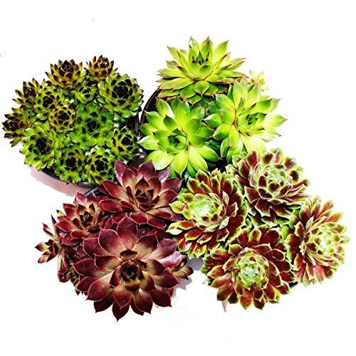 Exotenherz - Hauswurz - Set aus 4 verschiedenen Sempervivum-Sorten