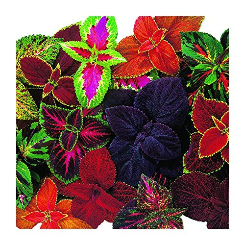 Park Seed Giant Exhibition Complete Mix Coleus Seeds, Pack of 20 Seeds