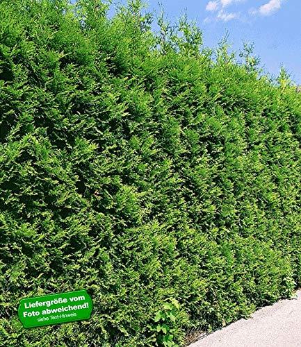 BALDUR-Garten Thuja Lebensbaum