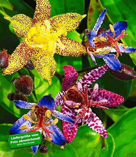 BALDUR-Garten Exotische Tiger-Lilien Krötenlilien, 3 Knollen Tricyrtis winterhart