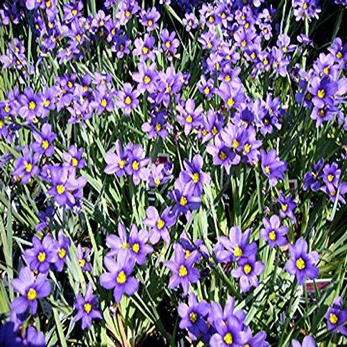 FERRY Semi Biologico unicamente Non Piante: Online Centro 100 g di Semi. Lucerna -Eyed Blossom Colore Viola in TRAGHETTO