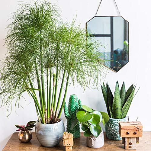 Qulista Samenhaus - Rarität 100pcs Papyrusgras Nofretete Luftreinigende Pflanze pflegeleicht Zimmerpflanzen Blumensamen winterhart mehrjärhig für Kübel auf Balkon und Terrasse