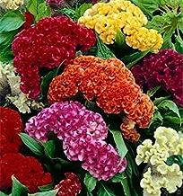 Celosia cresta Cresta de gallo Mix 500 semillas flor cortada fácil crecer CombSH A74