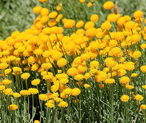 Graues Heiligenkraut - Zypressenkraut - Santolina chamaecyparissus - 1 Portionssaatgut, Inhalt reicht für ca. 20 Pflanzen