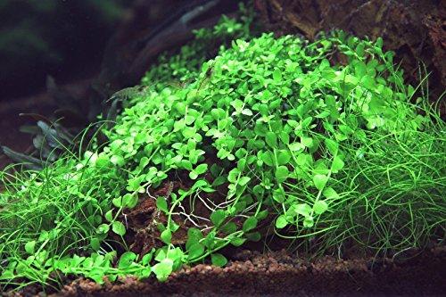 Monte-Carlo Zwergperlkraut - Wasserpfeffer/Micranthemum 'Monte Carlo'