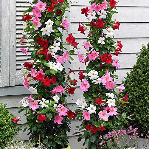 Mandevilla sanderi |Gelsomino cileno |Scalatrice dai fiori colorati alungo periodo di fioritura