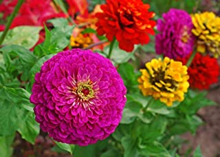 Zinnia Elegans Lilliput Mix Seeds, Non-GMO - Spring Summer Garden Flower Seeds Variety Size by Naturegreen Park 200 Seeds