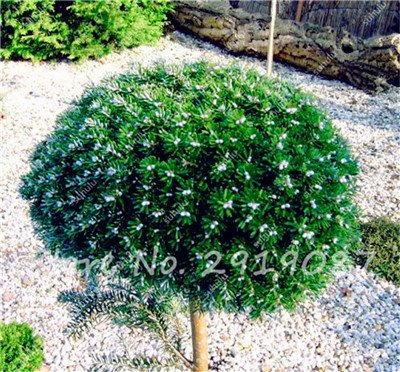 Colorado mixtes Graines de sapin Coloful Spruce Graines Picea arbre en pot Bonsai Cour Jardin des plantes Bonsai Pine Tree Seeds 100 Pcs