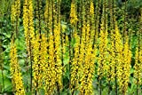 Ligularia przewalskii : a garden tested, hardy perennial plant supplied in a half litre pot