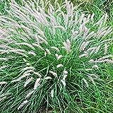 Perennial Farm Marketplace Pennisetum orientale (Oriental Fountain) Ornamental Grass, Size-#1 Container, Pale Pink Plumes