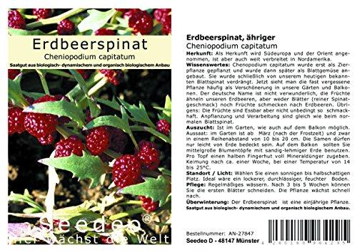 Seedeo® Erdbeerspinat, ähriger (Cheniopodium capitatum) 300 Samen BIOn
