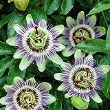 Passionsblume (Passiflora caerulea) - Mehrjärige Kletterpflanze, Winterhart & Immergrün - 1,5...
