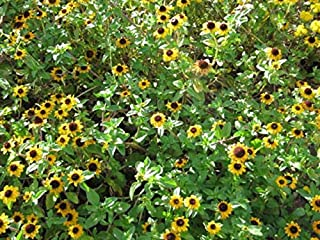 600 Yellow Creeping Zinnia Sanvitalia Procumbens Seeds TkLucky72