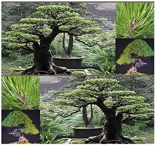 5 Packs x 10 JAPANESE RED PINE Tree Seed - Pinus densiflora - Zones 3-7 - By MySeeds.Co (Red Pine x 5 Packs)