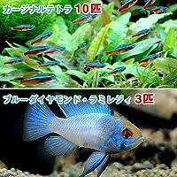 charm(チャーム) (熱帯魚)カージナルテトラ(ワイルド)(10匹) + ブルーダイヤモンド・ラミレジィ(3匹) 【生体】