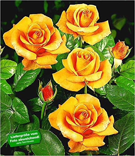 BALDUR-Garten Duftend Edelrosen 'Maja Oetker®', 1 Pflanze winterhart