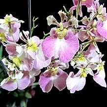 """Tolumnia Jairak Flyer""""Soft Purple"""" (Equitant Oncidium) - Mature Clone"""
