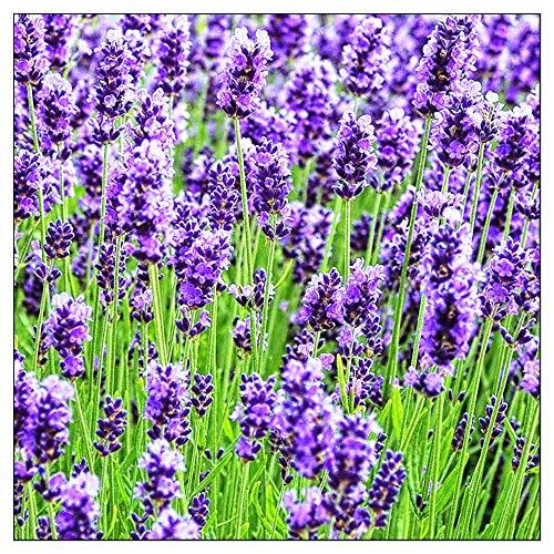 500 Lavender Seeds Common English | Non-GMO | Fresh Garden Seeds