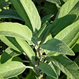 Salvia officinalis - Gewürz-Salbei, im 0,5 Liter Topf, violettblau blühend