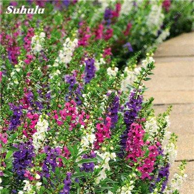 100pcs Belles aromatiques gypsophile Graines vrai étoilées fleurs en pot Gypsophila paniculata All Over The Star Sky Bonsai Flower 4