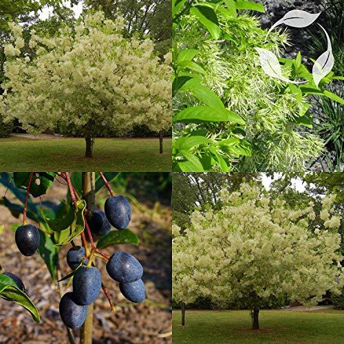 vegherb Weiß Fringe Baum Chionanthus virginicus Seeds