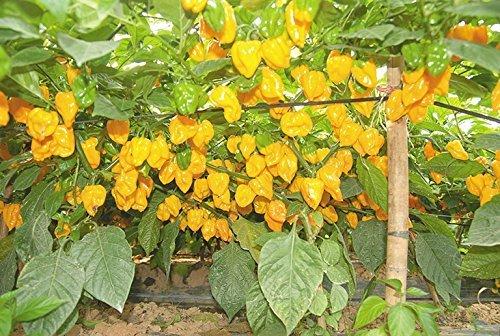 30 pcs JAUNES semences Trinidad Scorpion Seeds Pornographique Pepper Chili Livraison gratuite Livraison gratuite