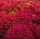 50 Burning Bush Seeds Kochia Scoparia Grass Ornamental Herb Fall Color Erosion