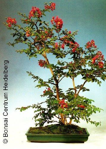 TROPICA - Árbol de Júpiter (Lagerstroemia indica `violacea`) - 200 semillas- Bonsai