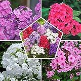 10 x Phlox (paniculata) Kollektion Mix   5 Sorten   2 von jeder Farbe   Große Winterharte Nacktwurzel Pflanzen/Stauden aus Holland (kein Samen)   Weiß-Rot-Rosa-Violett Farben