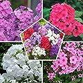 10 x Phlox (paniculata) Colección Mix | 5 variedades…