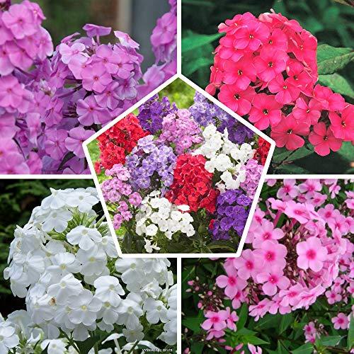10 x Phlox (paniculata) Kollektion Mix | 5 Sorten | 2 von jeder Farbe | Große Winterharte Nacktwurzel Pflanzen/Stauden aus Holland (kein Samen) | Weiß-Rot-Rosa-Violett Farben