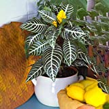 Premium Aphelandra Verde   Colorida y Hoja Perenne 25-35cm Planta Cebra en Maceta