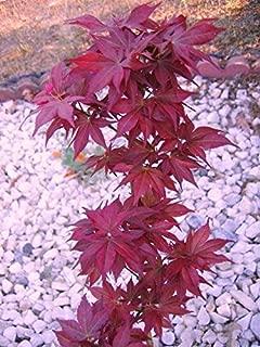 Beni Hoshi Dwarf Japanese Maple 1 - Year Live Plant