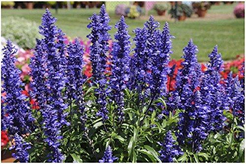 Lot de 50 graines de sauge farineuse Blue Plus - plantes annuelles