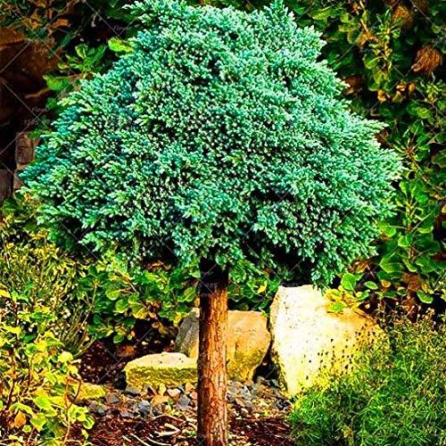 Homely 1Pack = 50Pcs saat Picea Blaufichte im Topf Bonsai Hof Garten Bonsai saat Kiefer saat: 1