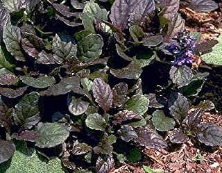 Bronze Beauty Ajuga 48 Plants - Carpet Bugle - Very Hardy -1 3/4