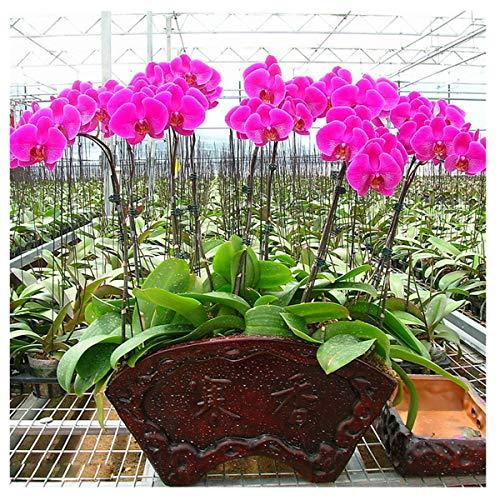 Orquídea Flor Phalaenopsis Semillas Home Garden 20 Unids/pack