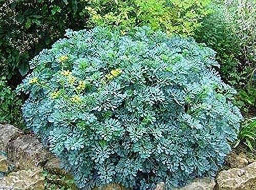 Petsdelite  500 Rue Seeds, Herb of Grace, Rue (Ruta Graveolens) Organic
