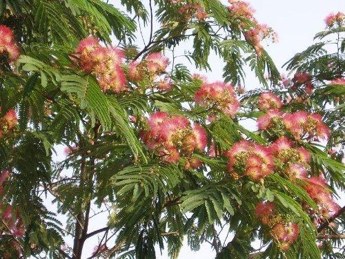 1000 Samen -albizia julibrissin- ''Mimosenbaum/Seidenbaum''